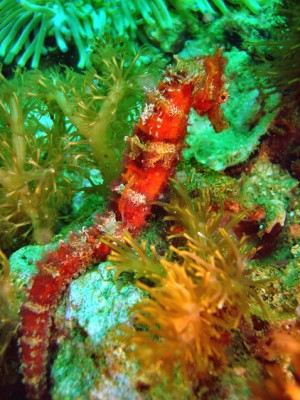 Scuba Diving with sea horses in Malapascua Island Philippines