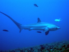 Scuba Diving with thresher sharks